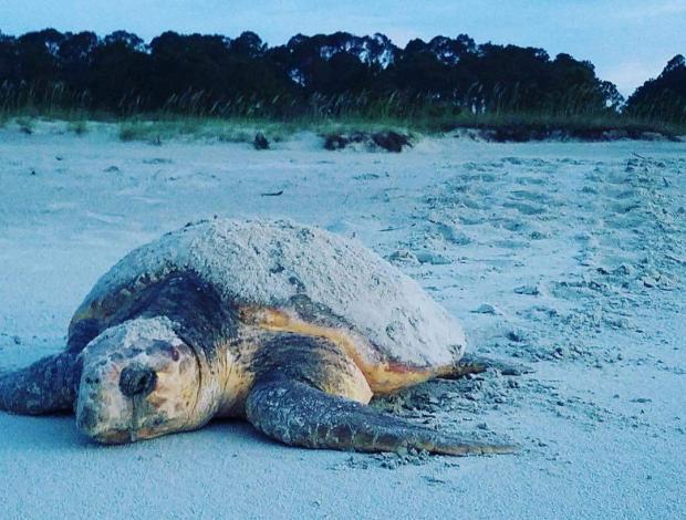 Sea Turtle sharing the beach